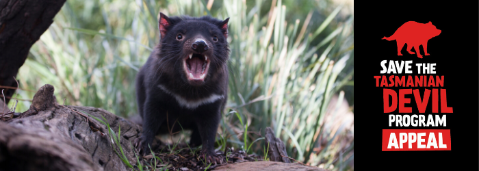 Donate to the Save the Tasmanian Devil Appeal