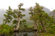 Pencil pines near Cradle Mountain - Credit Ashley Whitworth