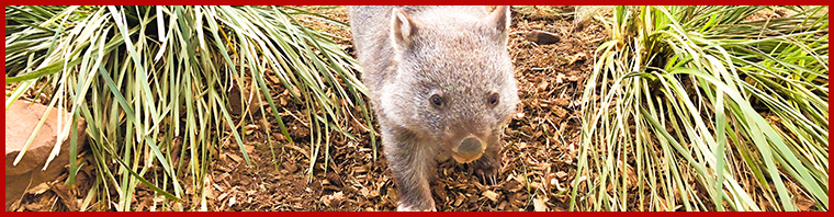 University of Tasmania wombat research